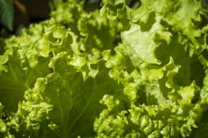 grand_rapids_lettuce