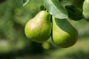 green-pear-1463245201ptb