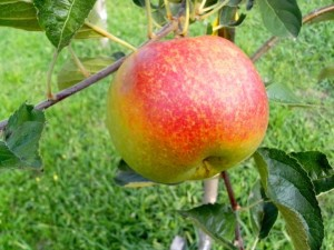 organic-apple-on-tree-725x544